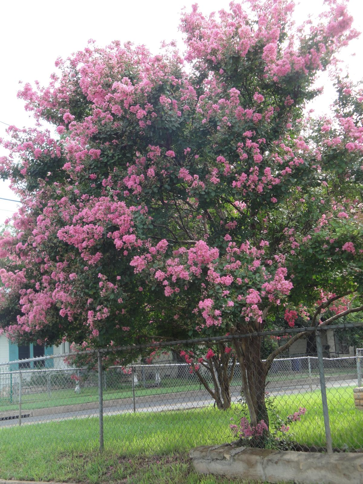 bad tree 1 the crepe myrtle the